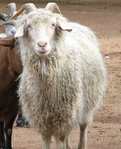 Facts And Information On Angora Goats And Mohair